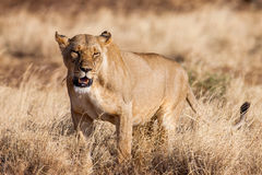 Lioness approach, walking straight towards the camera, Stock Image