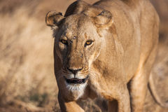 Lioness approach, walking straight towards the camera Stock Images
