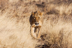 Lioness approach, walking straight towards the camera Royalty Free Stock Photography