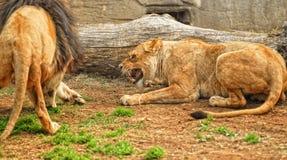 Lioness arrabbiato Fotografia Stock