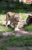 Lioness asiatico Fotografie Stock Libere da Diritti