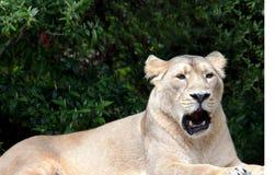 Lioness asiatico Immagine Stock Libera da Diritti