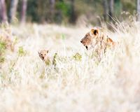 Lioness with Baby Cub in Grasslands stock photos