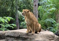 Lioness Stock Photos