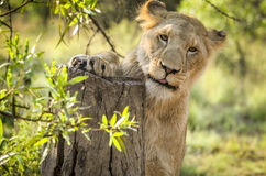 Lioness. A beautiful lioness striking a gorgeous pose Stock Photo