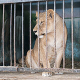 Lioness behind bars in a zoo cage Stock Images