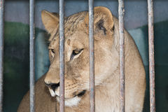 Lioness behind bars in a zoo cage Stock Photography