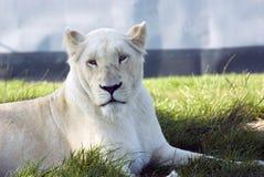 Lioness bianco Immagine Stock