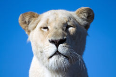 Lioness bianco Fotografia Stock Libera da Diritti