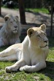 Lioness bianco che si trova nell'erba Immagini Stock