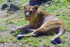 Lioness the big cat predator pride panther majestic. Lioness the big cat predator pride majestic Africa India Canine tooth spurs Royalty Free Stock Photography