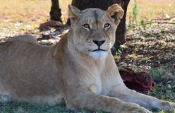Lioness. Big5, wildlife, South Africa Stock Image