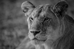 Lioness in black and white. African lioness in the Masai mara looking for prey Stock Images