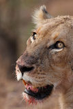 Lioness bloody. Lioness after meal with bloody mooth and flies on nose Stock Photo