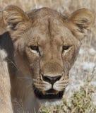 Lioness - Botswana Royalty Free Stock Image