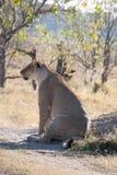 Lioness in Botswana Stock Photos