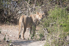 Lioness in Botswana Stock Image