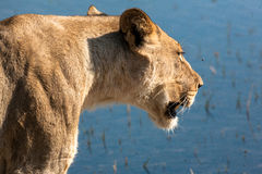 Lioness in Botswana Royalty Free Stock Photos