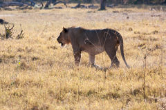 Lioness in Botswana Stock Images