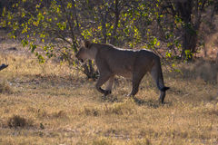 Lioness in Botswana Royalty Free Stock Photo