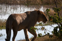 Lioness in Botswana Royalty Free Stock Images