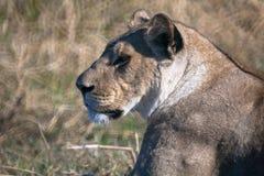 Lioness, Botswana Royalty Free Stock Photo