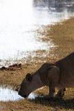 Lioness, Botswana Stock Image