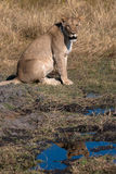 Lioness, Botswana Royalty Free Stock Images