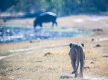 Lioness in Botswana Royalty Free Stock Photo