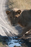 Lioness in Botswana Royalty Free Stock Photography