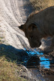 Lioness in Botswana Royalty Free Stock Image