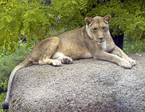 Lioness 1 Royalty Free Stock Photography