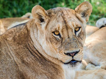 Lioness bright eyes Stock Photos