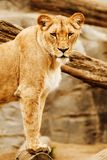 Lioness Beside on Brown Wood Stock Photos