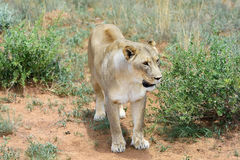 Lioness in bush,  Namibia Stock Photos