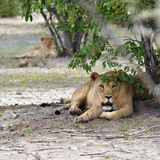 Lioness in bush,  Namibia Royalty Free Stock Images