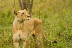 Lioness in the Bush in South Africa Stock Image
