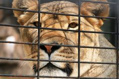 Lioness in a Cage. Female lioness mascot, Una, at the University of North Alabama Stock Photo