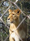 Lioness in the cage Royalty Free Stock Photos