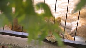 A lioness in in a cage looks through an aviary. The lioness is resting in the zoo aviary, a group of lions resting in stock footage