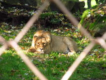 Lioness in the cage Stock Image
