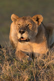 Lioness calling at sunset stock photography