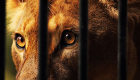 Lioness in captivity Royalty Free Stock Photos