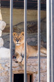 Lioness in captivity in a zoo behind bars. Power and aggression in the cage. Royalty Free Stock Photos