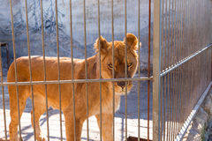 Lioness in captivity in a zoo behind bars. Power and aggression in the cage. Royalty Free Stock Image