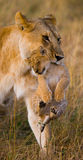 Lioness carries her baby. National Park. Kenya. Tanzania. Masai Mara. Serengeti. Stock Photo