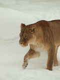 Lioness che cammina nella neve Fotografia Stock Libera da Diritti