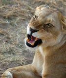 Lioness che osserva in su e che ringhia Fotografia Stock
