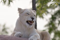 Lioness che ringhia Fotografia Stock