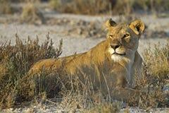Lioness che risiede nel erba-campo Immagine Stock